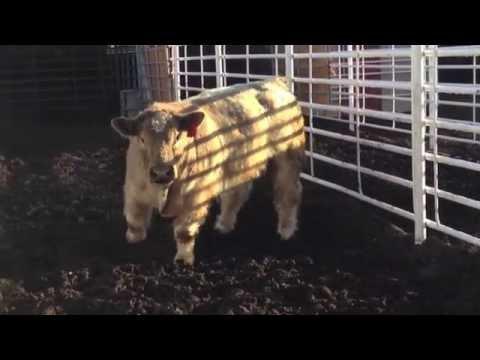 Matt Lautner Cattle Hawkeye Breeders Virtual Tour