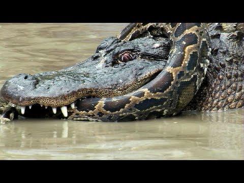 Alligator Vs Snake Movie