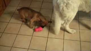 Our Dogs Playing with their new toy from BarkBox Thumbnail
