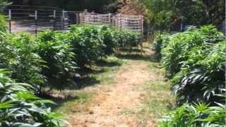 Growing medical marajuana outdoors august 12update