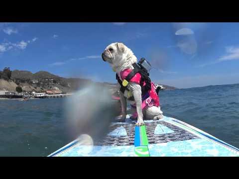 Surf Gidget The Pug Wins