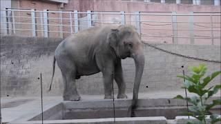 """ムスト期に入った「ヴィドゥラ」- サマーナイト@Tama Zoo 2019 ~ Sri Lankan Elephant """"Vidula"""" got musth period"""