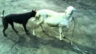Pertarungan Sengit Anjing Vs Kambing