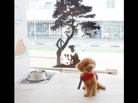 Amber Toy Poodle - Learning to Swim