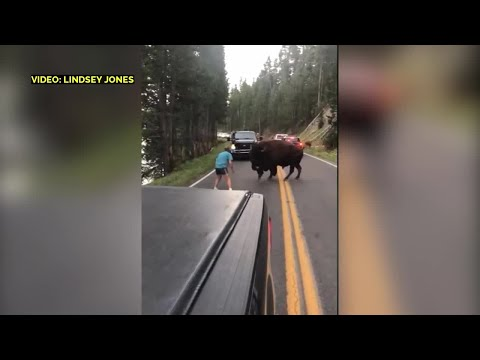 Dumb tourist taunts bison in Yellowstone National Park
