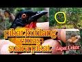 Suara Pikat Kutilang Emas Kutilang Gacor Burung Receh Tapi Seru  Mp3 - Mp4 Download