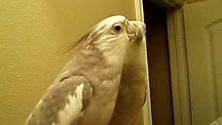 Pluto the cockatiel whistling the marine corps hymn USMC
