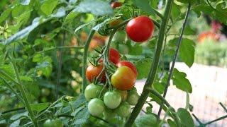 Где лучше выращивать помидоры ,в теплице или в открытом грунте?(Друзья ,у вас есть земля ?Тогда я поспешу поделиться своим опытом по выращиванию томатов.Советую вам сделат..., 2015-08-04T17:02:26.000Z)