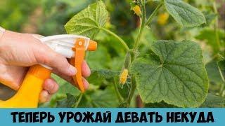 Желтеют листья огурцов Всё исправила в момент Вот теперь урожай девать некуда Средство от пожелтения
