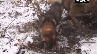 Охота на куницу с Западно-Сибирской Лайкой