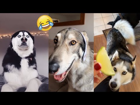 Pets Cute Funny Dog Husky - Tik Tok Compilation