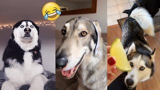 Pets Cute Funny Dog Husky