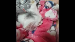 아기고양이 꾹꾹이 - 먼치킨 숏레그 하늘이