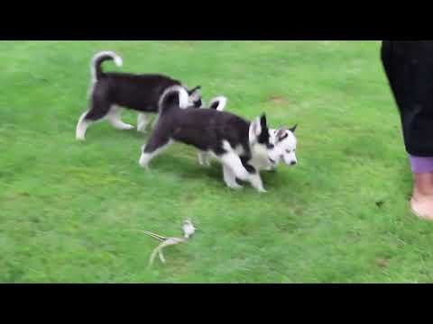 Husky Puppies For Sale Levi King