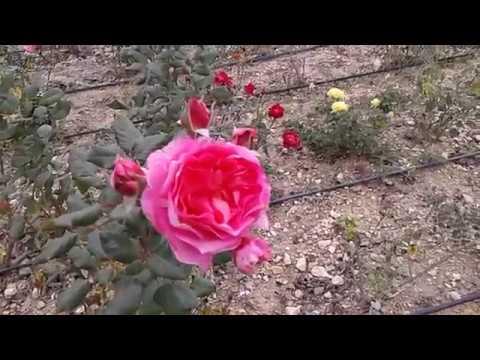 розы октябрь 2018, обзор сортов в питомнике роз Полины Козловой