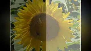 Un piccolo Sole....il girasole!