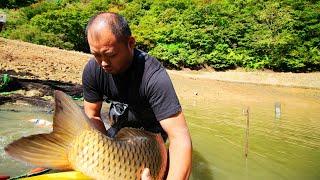 Giant koi fish | Amazing jumbo koi carp | Tancho Showa mudpond harvest