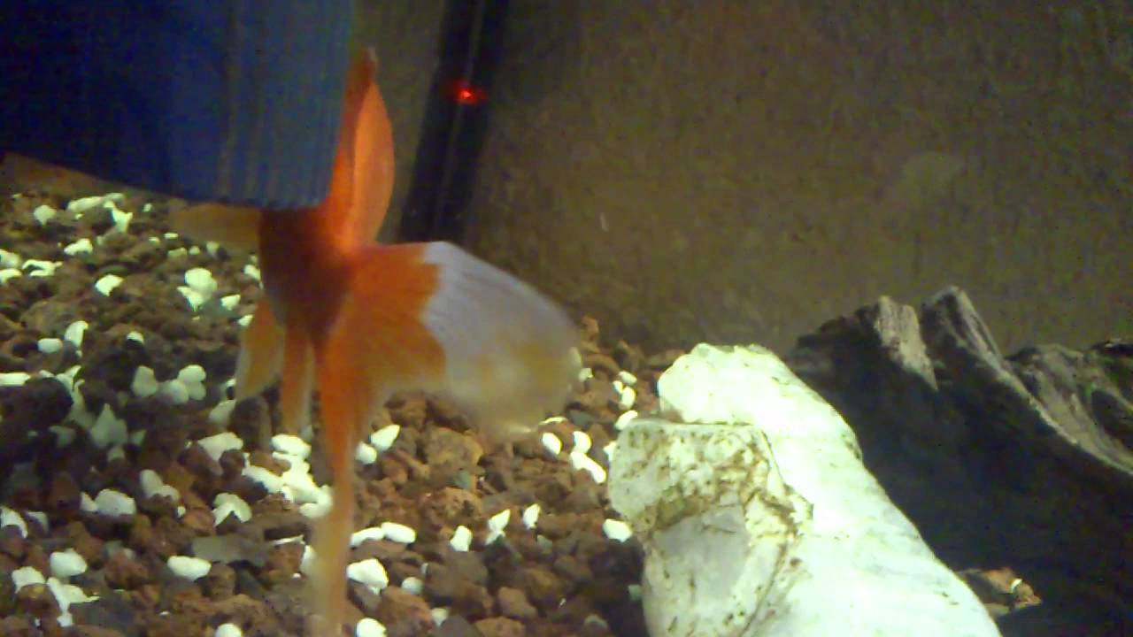 What Can You Feed A Betta Fish Besides Fish Food