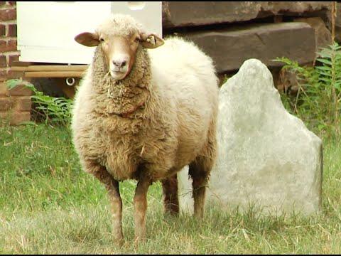"""""""SoHo Sheep"""" Takeover Manhattan Basilica"""