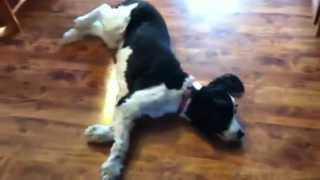 Springer Spaniel Swiffers Floor