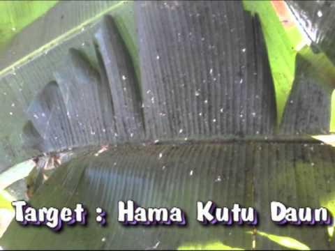 Cara Membuat Larutan Pengusir Hama Kutu Daun (How to Make a solution of Pest Repellent Lice Leaves)