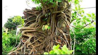 Cây bồ đề có bộ rễ độc đáo, và cây sung dáng huyền sai quả .