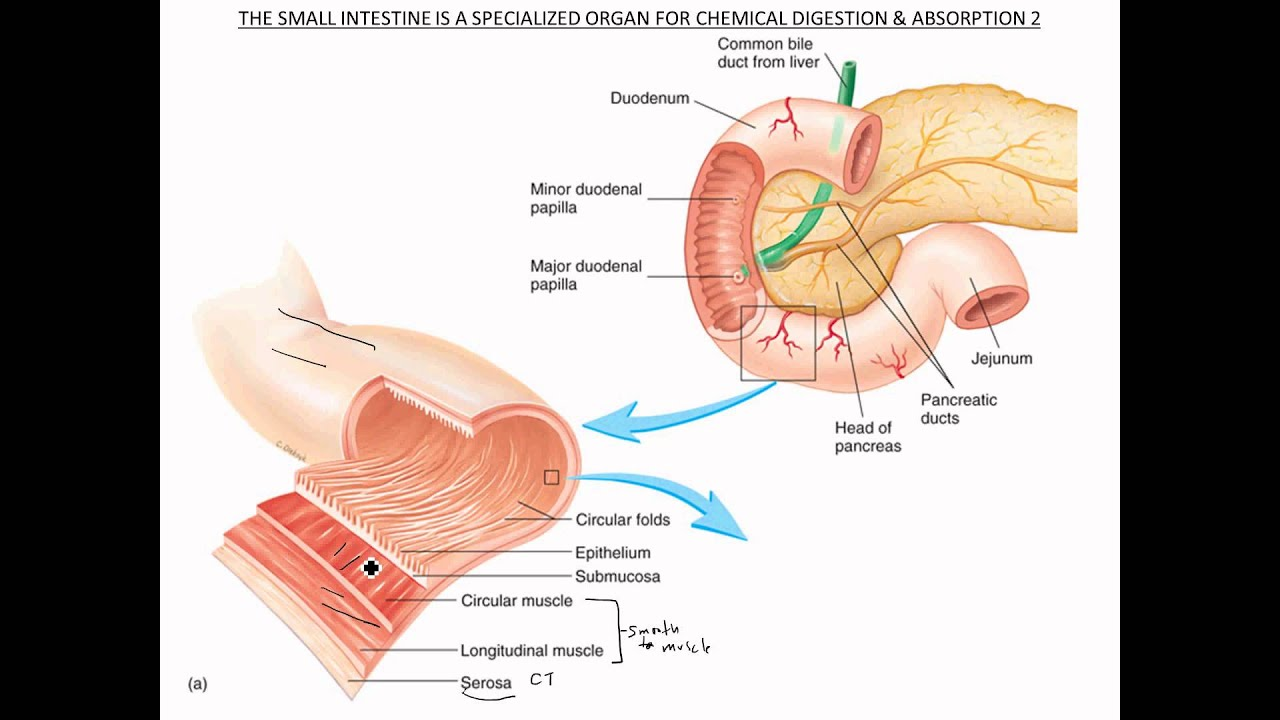 small intestine functional anatomy [ 1280 x 720 Pixel ]