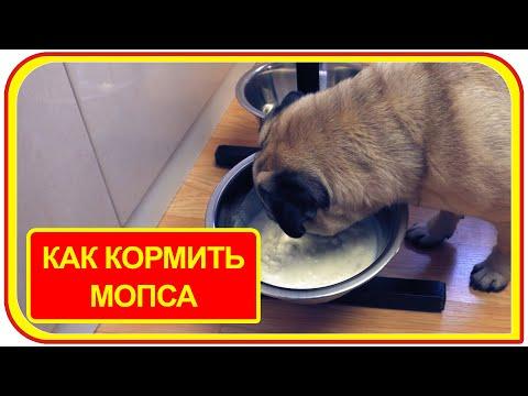 Вопрос: Чем можно и нельзя кормить мопса?