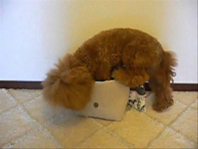 トイプードルロビンのバッグイン おもしろ犬動画