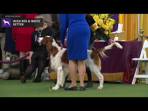 Setters (Irish Red and White) | Breed Judging 2020