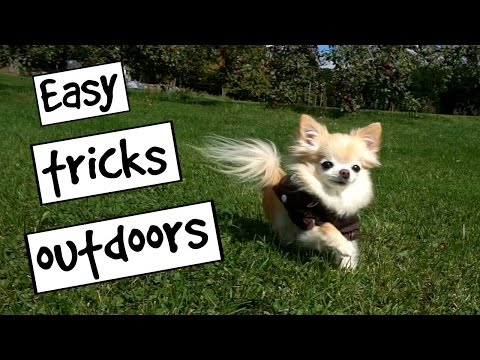 CUTE PUPPY sized chihuahua EASY DOG TRICKS outdoors
