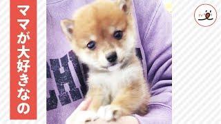 3ヶ月の柴犬ちゃん🐕 まだまだママにベッタリな姿が可愛い💕【PECO TV】 thumbnail