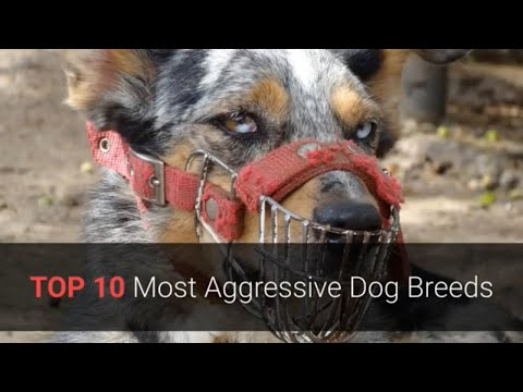 Aggressive Dogs - TOP 10 Most Aggressive Dog Breeds In The World! 🐕