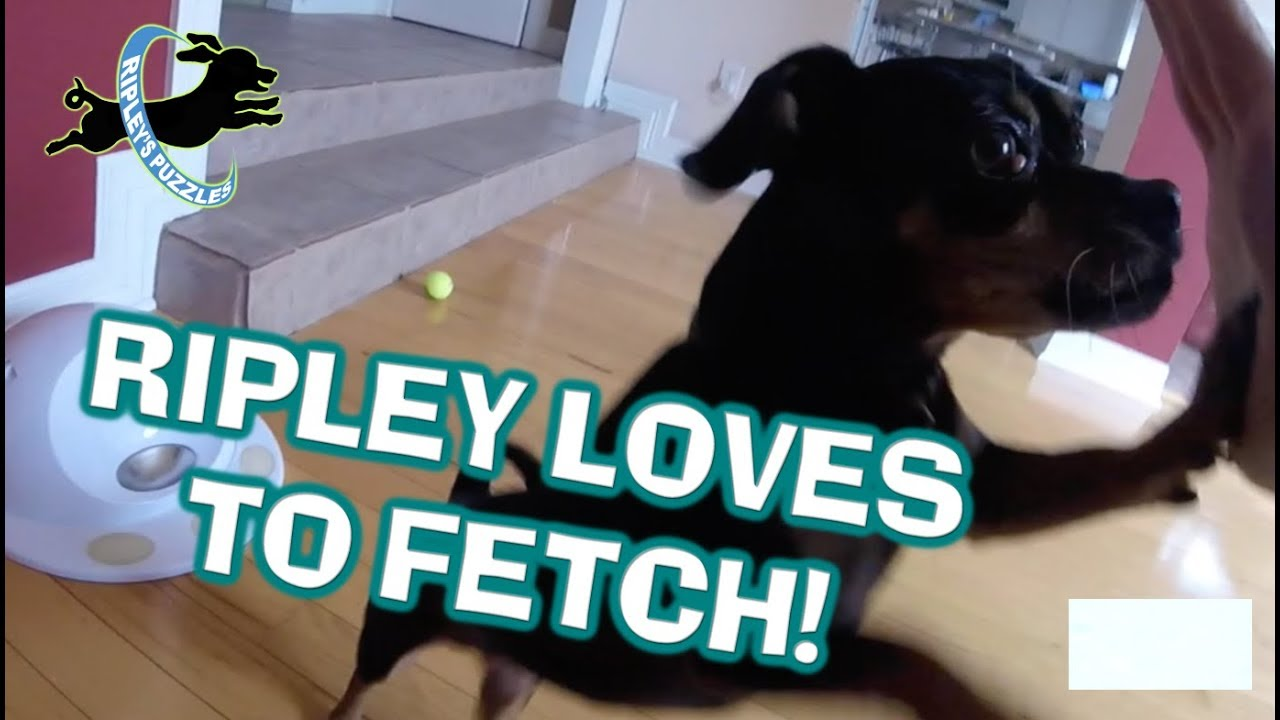 The World's Greatest Fetcher:  Ripley Retrieves Balls, Dog Toys, Games, And Puzzles