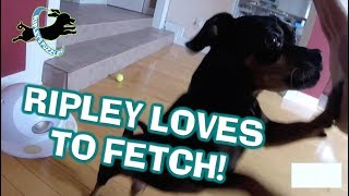 The World's Greatest Fetcher:  Ripley Retrieves Balls, Dog Toys, Games, And Puzzles thumbnail
