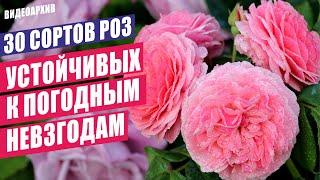 Розы осеннего сада 30 сортов розы сортароз цветениероз розывсаду счастливыйсадовод