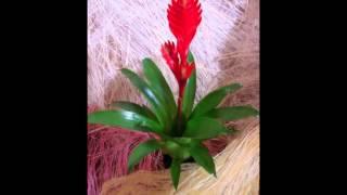 видео Вриезия (Vriesea Lindl.)