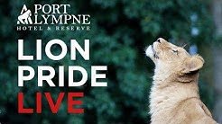 CUBCAM - Live from Port Lympne Hotel & Reserve's lion enclosure