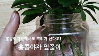 홍콩야자 잎꽂이 /수경재배로 잎꽂이하기 /홍콩야자잎으로…