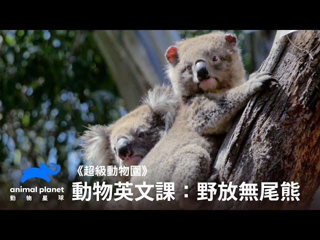 【中英雙字幕】動物線上英文課:野放無尾熊 動物星球頻道