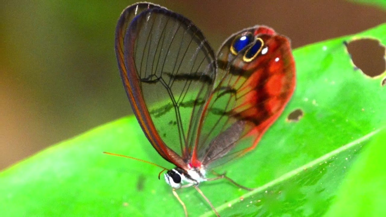 A Glasswing Butterfly In Our Jungle Youtube