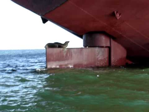 Seals hanging on a rudder of a Greek cargo ship