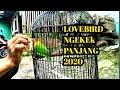 Suara Lovebird Juara Ngekek Panjang Pancingan Lovebird Fighter Ngekek Panjang Masteran Lovebebird  Mp3 - Mp4 Download