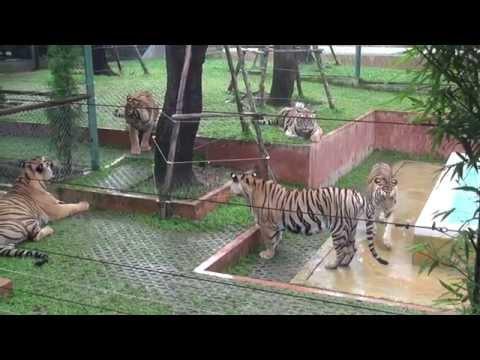 Tiger Kingdom - The Victim's Story
