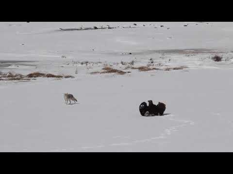 Grizzly bear playfully chases coyote in Yellowstone