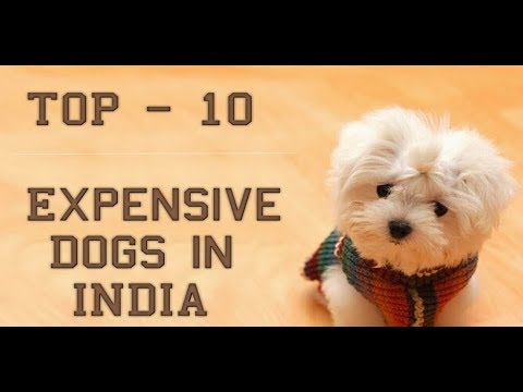 Top  Expensive Dog Breeds In India
