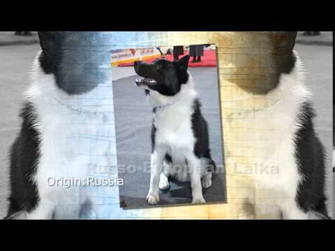 Russo European Laika Dog Breed - YouTube
