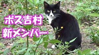 ボス吉村に新猫のハチワレ現る! The newcomer, the Mask and Mantle cat came to Boss Cat town!