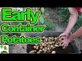 Harvesting Containers Of New Potatoes UK