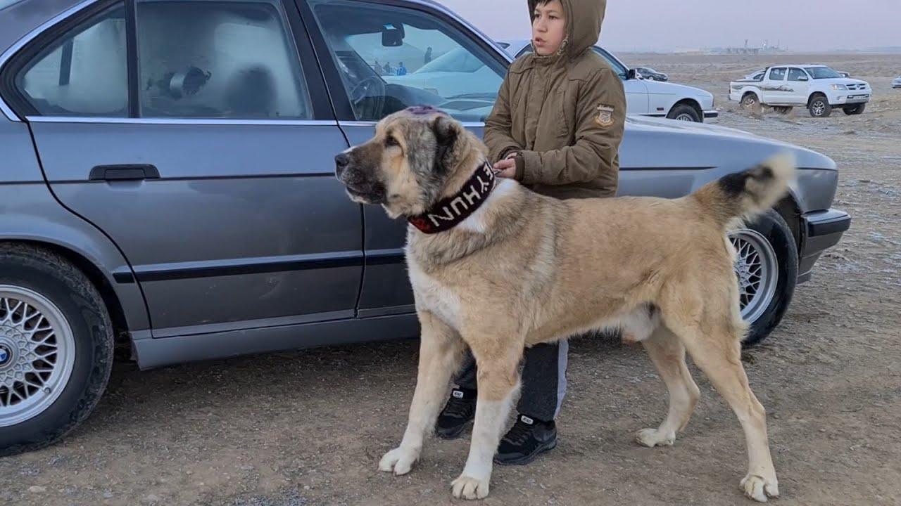 Какаджан и его Джейхун! Туркменский Волкодав  Turkmen Alabay